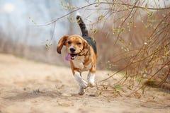 Rolig beaglehundspring Arkivfoton