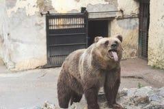 Rolig björn i zoo fotografering för bildbyråer