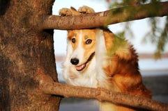 Rolig border collie hund Royaltyfri Foto