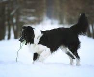 Rolig border collie hund i snö royaltyfri fotografi