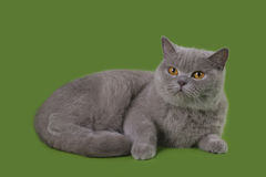 Rolig Britannien katt i den isolerade studion Arkivfoton