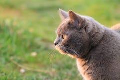 Rolig brittisk katt med stora guld- ögon som ser på solen Royaltyfria Bilder