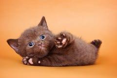Rolig brun katt royaltyfria bilder