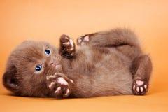 Rolig brun katt arkivbilder
