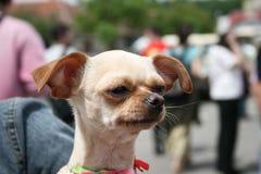 rolig chihuahua Royaltyfri Fotografi