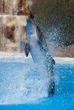 Rolig delfinbanhoppning Royaltyfri Foto