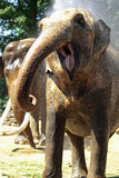 rolig elefant Royaltyfri Foto