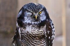 rolig en owlwinkingwith för öga Royaltyfri Fotografi