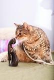 Rolig europeisk katt Royaltyfri Foto