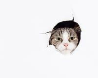 Rolig europeisk katt royaltyfria bilder