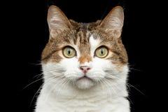 Rolig fet katt på isolerad svart bakgrund royaltyfri foto