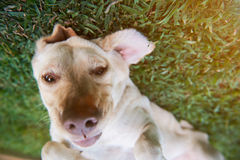 Rolig framsida av den bruna labrador hunden Royaltyfria Bilder