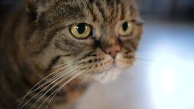 Rolig framsida av den stora katten som som slickar hennes framsida i ultrarapid lager videofilmer