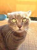 Rolig framsida för galen katt Arkivbild
