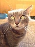 Rolig framsida för galen katt Royaltyfri Foto