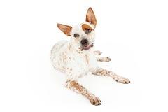 Rolig framsida för Queensland Heeler hund Arkivbild
