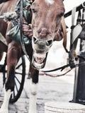 Rolig gäspa vagnshäst. Dominikan Republ arkivbilder