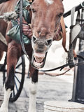 Rolig gäspa vagnshäst i Santo Domingo, dominikan Republ fotografering för bildbyråer