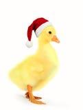 Rolig gässling med ett lock för jultomten` som s isoleras på en vit bakgrund royaltyfri bild