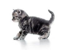 Rolig gå svart kattkattunge på vitbakgrund Fotografering för Bildbyråer