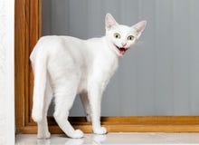 Rolig galen katt Royaltyfri Foto