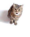Rolig galen katt med den öppna munnen royaltyfri foto