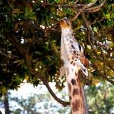 rolig giraff Fotografering för Bildbyråer
