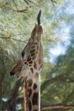 rolig giraff som klibbar ut tungan Royaltyfria Foton