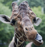 Rolig giraffbyggnad vänder mot. Royaltyfri Fotografi