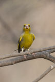 Rolig greenfinch Fotografering för Bildbyråer