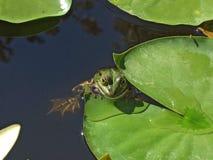 Rolig groda (Ranaesculanta, den ätliga grodan) Fotografering för Bildbyråer