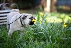 Rolig gullig liten mopshund Fotografering för Bildbyråer