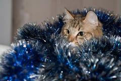 Rolig härlig siberian katt nära prydlig jul Arkivfoto