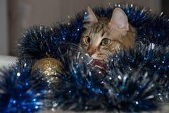 Rolig härlig siberian katt nära prydlig jul Royaltyfri Fotografi