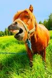 rolig häst Royaltyfria Bilder