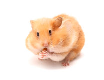 rolig hamster Royaltyfria Bilder