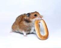 Rolig hamster med en rund bagel i tänderna Arkivbilder