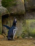 Rolig humboldt pingvin som skriker och gör ett hårt ljud, waterbird från Stillahavskusten, hotad djur specie arkivfoto