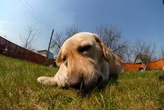 rolig hund Royaltyfri Bild