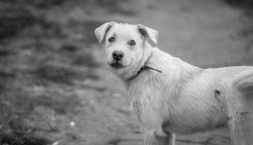 Rolig hund för bullrigt svartvitt fotografi med en krage Arkivbilder