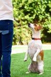 Rolig hund f?r st?ende som sitter p? bakre ben som tigger med ?gon, i att be blick arkivfoton
