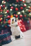 Rolig hund för stålarrussell terrier i den santa hatten i juldecorat arkivbilder