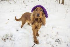 Rolig hund i hatt Arkivfoton