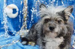 Rolig hund i julbakgrund Arkivfoton