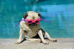 Rolig hund med skyddsglasögon royaltyfri foto