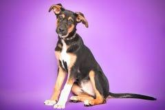 Rolig hund med stora öron som ligger på lilor royaltyfria foton