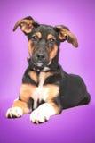 Rolig hund med stora öron som sitter på lilor royaltyfria bilder