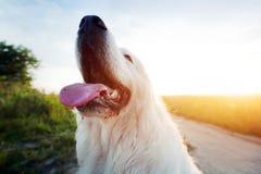 Rolig hund på fältet Polsk Tatra fårhund, ung vuxen människa Podhalan Arkivbilder