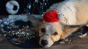 Rolig hund på helgdagsafton för ` s för nytt år
