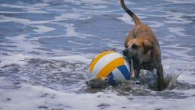 Rolig hund som spelar med den kulöra bollen i vågorna på havet gulliga husdjur som hoppar på hans leksak och försök för att fånga stock video